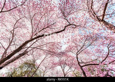 À la recherche jusqu'à fleur de cerisier sakura trees against sky perspective avec pétales de fleurs rose au printemps, printemps, Washington DC ou le Japon, branches vertes Banque D'Images