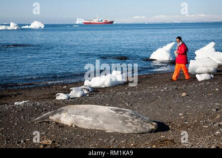 L'antarctique. Un touriste japonais près de phoque de Weddell (Leptonychotes weddelli) sur la plage rocheuse de Brown Bluff. Côte Est de la péninsule Tabarin, sur la Banque D'Images