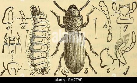 . Rapport annuel, y compris un rapport des insectes du New Jersey, 1909. JERvSEY 276 RAPPORT DU NOUVEAU MUSÉE DE L'État. TROGOSITIDtE la famille. Généralement de forme oblongue, télévision espèces, le prothorax aussi large que le thorax et souvent bien séparées. En général ils vivent sous l'écorce, mais un peu vivent dans des greniers, où ils deviennent parfois assez nombreux, et plus rarement les spécimens sont trouvés sur les champignons. Certains d'entre eux sont les prédateurs ou semi-parasitaire au stade larvaire, et très peu sont préjudiciables à tous. THYMALUS Duft. T. fulgidus Er. Tout au long de l'état V, VI. Ressemble à une dame en bronze- la ponderosa et est généralement f