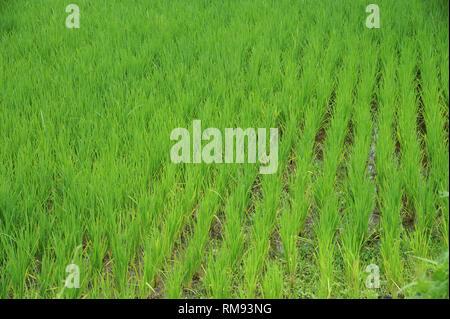 Champ de riz, Pune, Maharashtra, Inde, Asie Banque D'Images