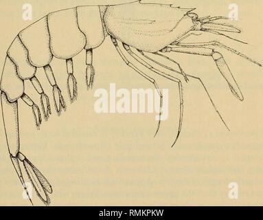 . Annales du Musée de l'Afrique du Sud = Annale van die Suid-Afrikaanse Museum. L'histoire naturelle. Les crustacés décapodes EN HAUTE MER DE L'OUEST DE CAPE POINT Matériel 319 SAM.A10446, $ la longueur de la carapace des femelles ovigères, 13 mm, longueur totale 52 mm. A189 St., 1098 m. Commentaires Ce femelles est le plus grand spécimen de cette espèce encore obtenu. Les oeufs, dont seulement quatre demeurent, mesure 2 à 5 mm de longueur et sont à un stade de développement avancé, la forme de la larve d'être clairement visible. C'est la plus méridionale de ce dossier semble-t-il d'espèces endémiques. Pontophilus Faxon occidentalis var. indica d Banque D'Images
