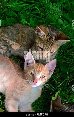 Un chaton tigré gris scrutant son frère tout en fixant les deux gingembre sur terrain vert turfy