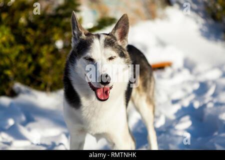 Les Chiens Alaskan Husky a l'air très heureux, sur un jour d'hiver ensoleillé Banque D'Images