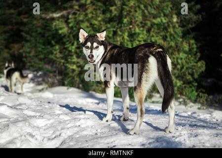 Deux chiens husky marcher dans un seul fichier alors que la croix se reproduisent l'on regarde en arrière, droit dans la caméra Banque D'Images