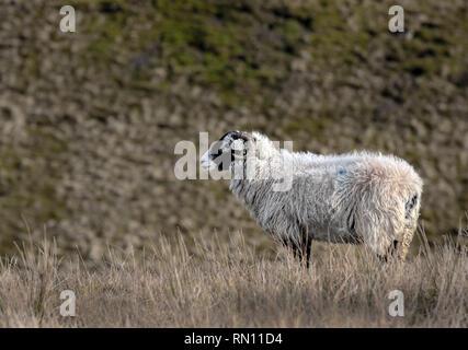 Les brebis dans le Yorkshire Dales Banque D'Images