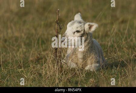 Un mignon agneau nouveau-né couché sur l'herbe dans un pré. Banque D'Images