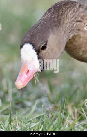 L'Oie rieuse Anser albifrons / Blaessgans ( ) en hiver, il se nourrit de l'herbe givrée, close-up détaillé, vue frontale, la faune, l'Europe. Banque D'Images