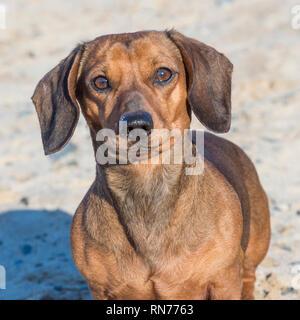 Dachshund dog on beach