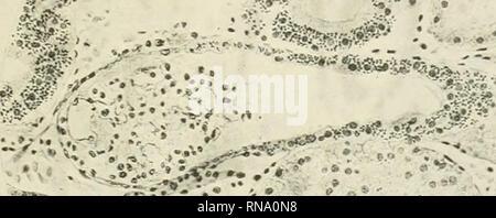 . Le dossier anatomique. Anatomie Anatomie;. Dans IXJECTED Trypan Bleu oeuf de poule 273 nulle part ailleurs dans les tissus de l'embryon est bleu trypane abondants, bien que des traces de colorant sont rencontrés pas infre conséquent dans le tissu conjonctif dans des cellules ressemblant à des clasmatocytes. Qu'il y a des cellules dans le tissu conjonctif du poussin capable de la phagocytose est le mieux illustré par l'examen du mésoderme à l'endroit de l'injection du bleu trypan dans la paroi de l'allantoïde.. Fig. 3 Photographie d'un dessin de la wolff bodj^ d'un treize jours chick, montrant un glomérule avec le début d'un tubu