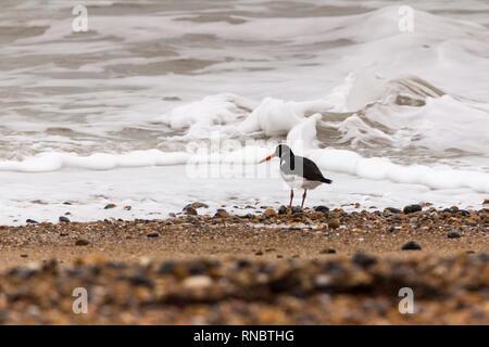 Huîtrier pie (Haematopus ostralegus) sur la plage Février 2019 shoreham UK. Noir et blanc avec long orange rouge bill rose-rouge et les jambes près de surf. Banque D'Images