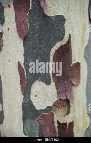 L'écorce de couleur d'un Australien gum tree décollait de son tronc créant un magnifique modèle qui peut être utilisé comme arrière-plan ou le papier peint Banque D'Images