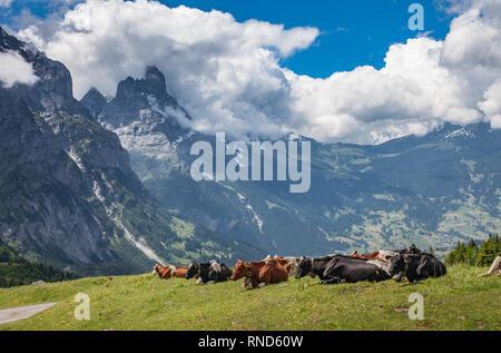 Troupeau de bétail dans les prairies au-dessus de Grindelwald avec face nord de l'Eiger en arrière-plan, Berner Oberland, Suisse,Jungfrauregion Banque D'Images