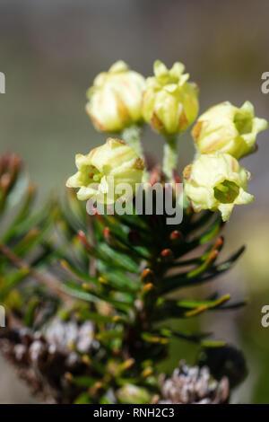 Vue rapprochée de fleurs jaunes Siberian Genévrier (Juniperus sibirica Burgsd) - plante médicinale de conifères à feuilles persistantes sur la journée ensoleillée. La flore sauvage de Kamchat Banque D'Images