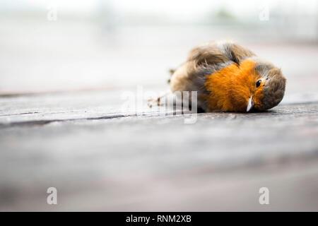 European Robin (Erithacus rubecula aux abords). Adultes morts couchés sur une terrasse. Allemagne Banque D'Images