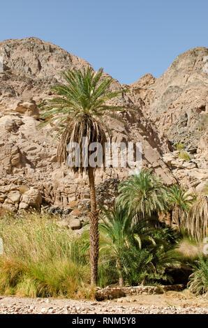 Oasis au milieu du désert du Sinaï en Egypte, l'Afrique. Banque D'Images
