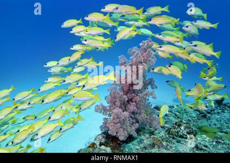 Banc de bluelined - snapper Lutjanus kasmira Banque D'Images