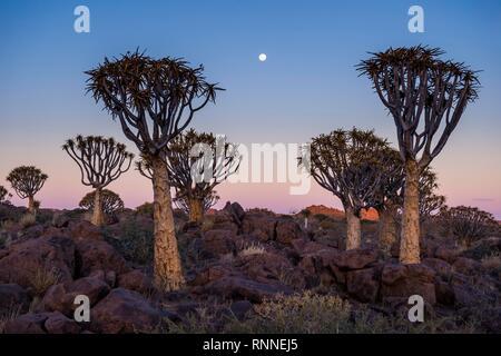 Forêt Quiver Tree (Aloe dichotoma) au coucher du soleil, Ketmanshoop, Namibie Banque D'Images