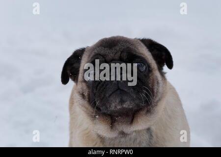 Cute puppy pug chinois est à la recherche de l'appareil photo. Mastiff néerlandais ou à franges. Animaux de compagnie. Chien de race pure. Banque D'Images