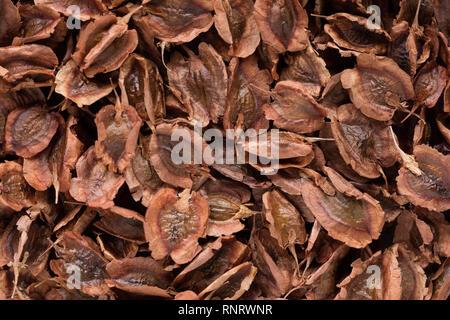 Des semences de haute qualité de la rhubarbe, dans une forme de texture pour votre beau jardin. Peut être utilisé par les producteurs de semences. Banque D'Images