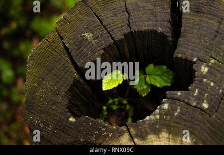 De plus en plus de plantes vertes à l'intérieur d'un tronc d'un arbre au milieu de la forêt. Banque D'Images