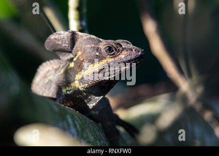 Brown Basilisk Lizard (Basiliscus vittatus) - Green Cay Les zones humides, Boynton Beach, Floride, USA Banque D'Images