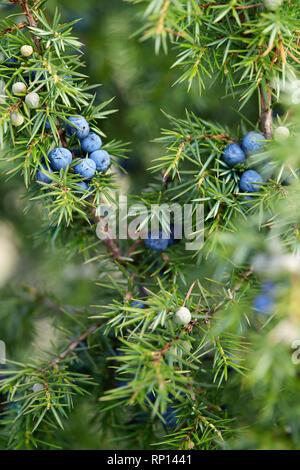 Plan de baies de genévrier Growing On Tree. Direction générale avec des baies de genévrier bleu de plus en plus à l'extérieur. Banque D'Images