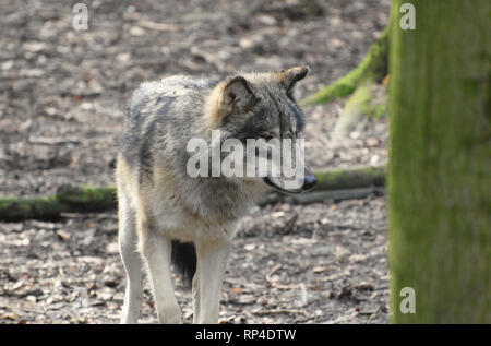 Loup gris / eurasien Banque D'Images