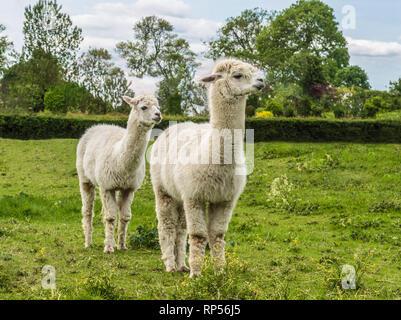 Alpaca (Vicugna pacos) - une espèce de camélidés sud-américains. Banque D'Images