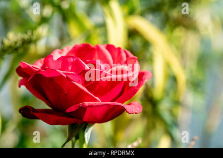 Close-up of a bright Red rose (genre Rosa) Banque D'Images