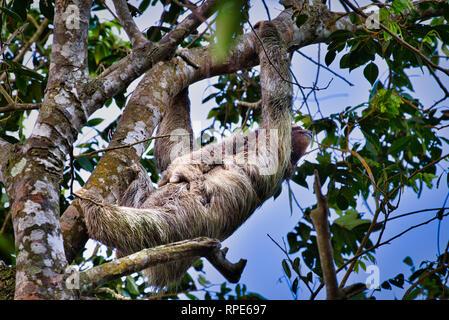 Trois-toed sloth, un paresseux à gorge brune (Bradypus variegatus) avec bébé image prise au Panama Banque D'Images