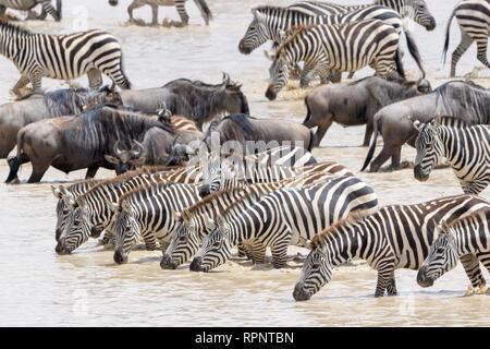 Conjoint ou zèbre Des Plaines (Equus quagga), l'eau potable au cours de la grande migration, le cratère du Ngorongoro, Tanzania Banque D'Images
