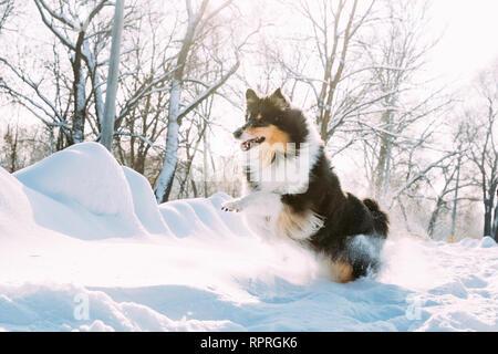 Funny Jeunes Shetland Sheepdog Sheltie, Collie, Course rapide en plein air parc enneigé. Animaux de la forêt en hiver ludique