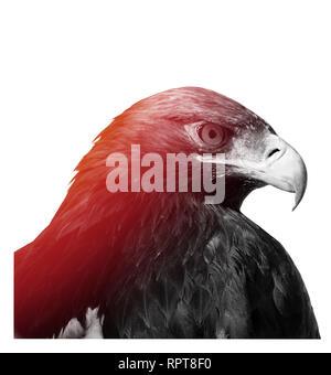 L'aigle royal, Aquila chrysaetos, photo en noir et blanc. Banque D'Images