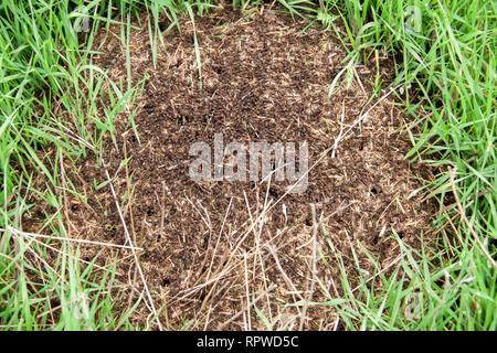 Fourmilière sur l'herbe verte close up