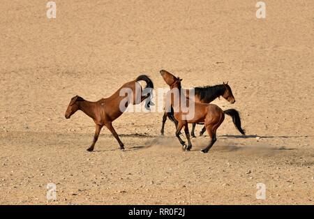 Zoologie, de Mammifères (Mammalia), Désert du Namib, cheval cheval sauvage de Namibie Namib ou (Equus ferus) près du, Additional-Rights Clearance-Info-Not-Available-