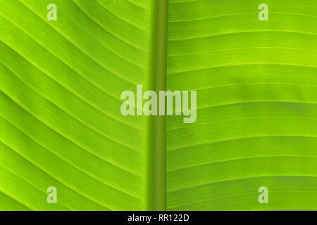 Libre de frais vert feuille de bananier en vue horizontale montrant les nervures secondaires et primaires en contre-jour. Banque D'Images