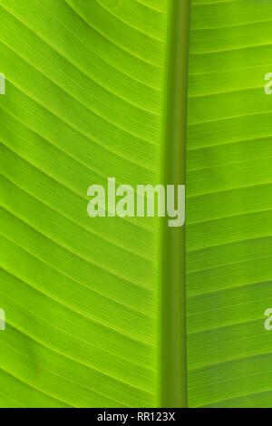 Libre de frais vert feuille de bananier en vue verticale montrant les nervures secondaires et primaires en contre-jour. Banque D'Images