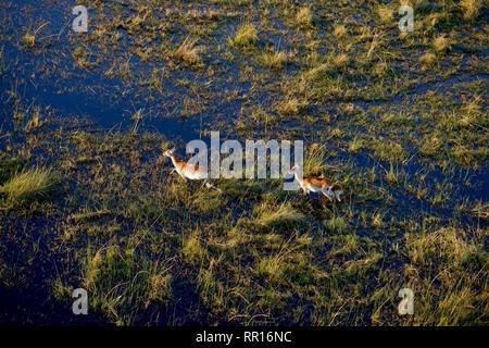 Zoologie, de Mammifères (Mammalia), rouge ou cobes lechwes (Kobus leche antilopes cobes lechwes leche), photographie aérienne, Additional-Rights Clearance-Info-Gomo,-Not-Available Banque D'Images