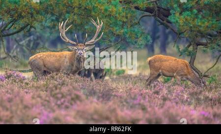Strong mâle avec les femelles du cerf (Cervus elaphus) dans la zone de la lande en Parc national Hoge Veluwe, Pays-Bas Banque D'Images
