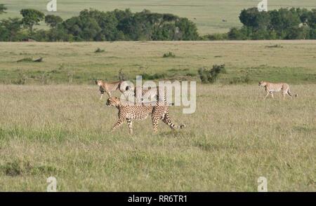 Quatre guépards (Acinonyx jubatus), partie d'une coalition de cinq, sur les grandes plaines de la Mara, tôt le matin Banque D'Images