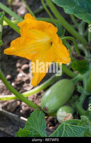 Courgette courgette ou avec des fleurs dans un jardin potager Banque D'Images
