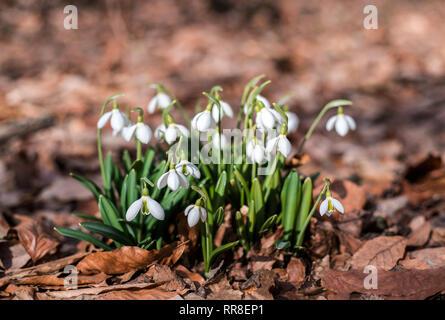 Perce-neige contre les vieilles feuilles au printemps la forêt. Banque D'Images