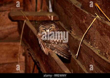 La Chouette naine se percher dans un hangar à foin. Banque D'Images