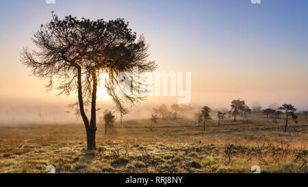 Misty le lever du soleil et la silhouette du sapin sur la lande de Woodbury Common, près de Exmouth, Devon, Angleterre, Royaume-Uni, Europe Banque D'Images