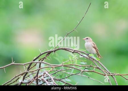 Chestnut-shouldered Bush-sparrow (Gymnoris xanthocollis), femme perché sur branche. Parc national de Keoladeo. Bharatpur. Le Rajasthan. L'Inde.