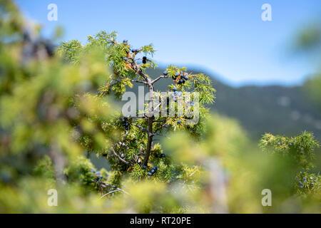 Plan de baies de genévrier Growing On Tree. Direction générale avec des baies de genévrier bleu croissant dans la sauvagerie. Banque D'Images