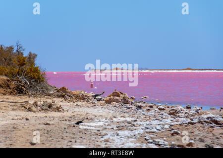Les branches mortes et des cristaux de sel à la plage du lac rose à côté de Gregory à l'ouest de l'Australie Banque D'Images