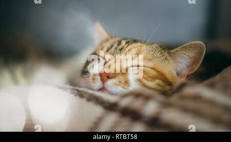 Vue latérale du mignon beau chat dormant dans ses rêves sur un quilt à motifs classique britannique