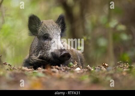 Le sanglier (Sus scrofa) réside dans oakleaves, Prerow, Allemagne