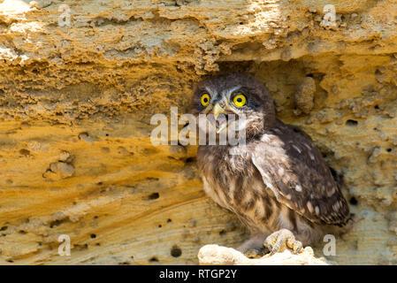Chouette chevêche Athene noctua ou perché sur terrain près de nest